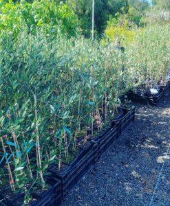 Olives - ascolna, frantoio, mission, verdale, uc36 - california queen, jumbo kalmata