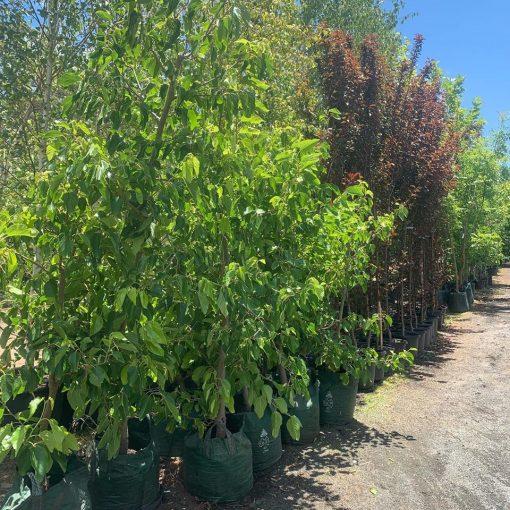 Shatoot- White- Mulberry - Tree