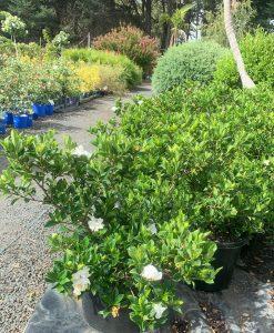Gardenia Florida 33cm pot