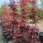 Japanese Maple Bloodgood