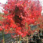 Japanese Maple Green Acer Palmatum