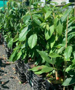 Avocado Trees 6l