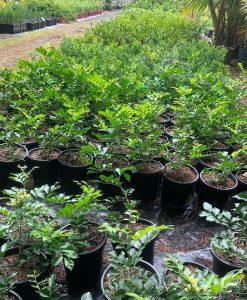 Murraya-paniculata 17cm pot