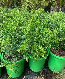 Murray Paniculata hip high 17cm pot