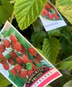 raspberry-plant