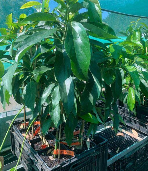 reed avocado tree