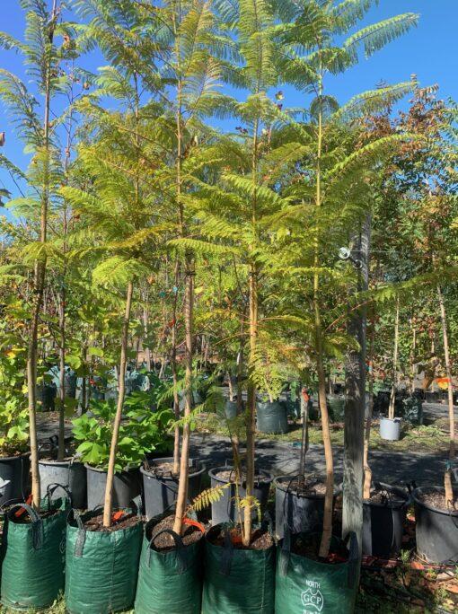 jacaranda-mimosifolia