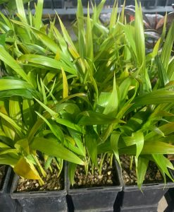 Golden Cane Palm Seedlings