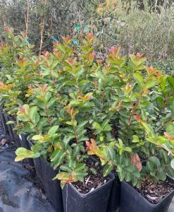 Lagerstroemia 4l Crepe Myrtle