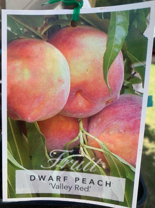 Dwarf peach Valley Red