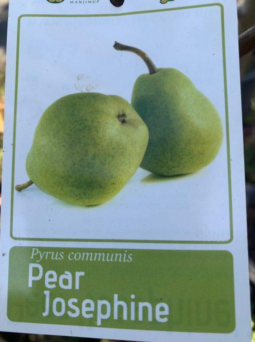 Pear Josephine
