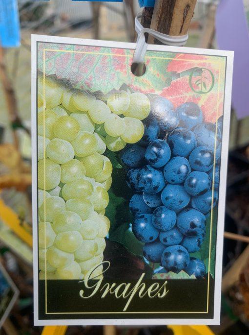 Grape Perlette