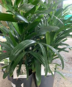 Rhapis Excelsa Lady Palm 3l