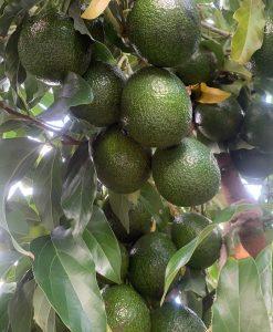 Avocado Tree Reed