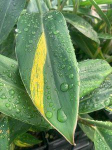 Alpinia Zerumbet Variegated Leaf