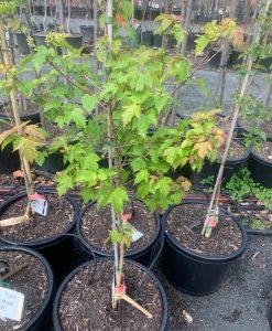 Amur Maple 330mm pot