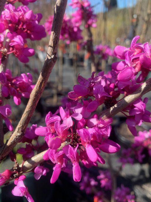 Cercis Canadensis Avondale Flower