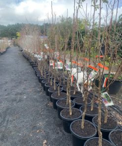 Cleveland Select Pear Tree 33cm Winter