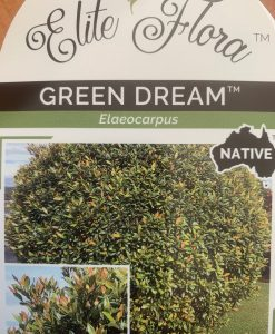 Green Dream Elaeocarpus
