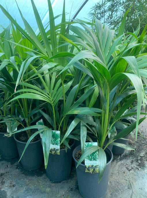 Kentia 5l pot Howea Forsteriana