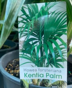 Kentia-lable