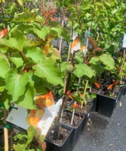 Apricot-tree-4l
