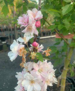 Crab Apple Blossom Spectabilis