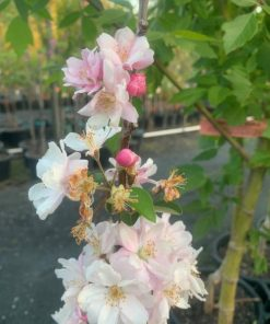 Crab Apple Blossom Spectabilis