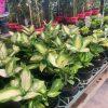 diffenbachia maculata camille