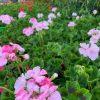 Geranium- Apache - Apple Blossom