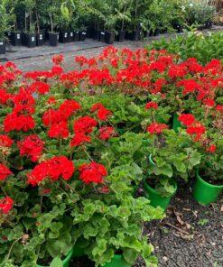 Geranium Apache Red