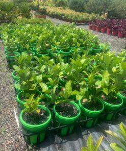 Sweet Viburnum Odoratissimum