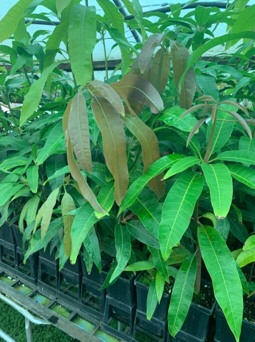 Mango-tree-90mm