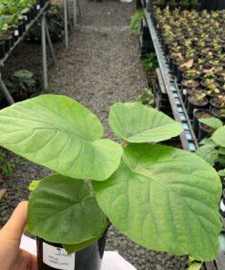 Ficus - Umbellata